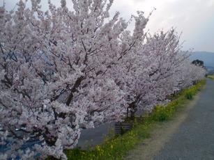 Sakura_003_5